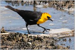 Yellow-headed Blackbird 1391 (maguire33@verizon.net) Tags: bearrivermigratorybirdrefuge yellowheadedblackbird bird wetlands wildlife brighamcity utah unitedstatesofamerica