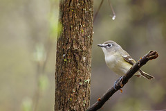 Blue headed vireo (ricmcarthur) Tags: blueheaded vireo vireosolitarius rondeau ricmcarthur rickmcarthur rondeauric