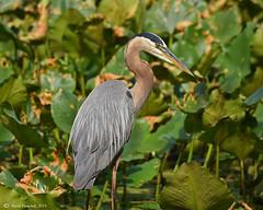 Great Blue Heron (Geo Scouter) Tags: greatblueheron wildwoodlake harrisburg pennsylvania