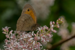 Meadow Brown (Maniola jurtina) (markhortonphotography) Tags: maniolajurtina surrey westgreenhouse macro westgreengardens butterfly nature flower lepidoptera astilbe hampshire insect meadowbrown wildlife invertebrate
