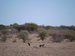 Bat Eared Fox (saraalaica) Tags: africa botswana kalahari centralkalaharigamereserve gamereserve mammal canine batearedfox fox desert