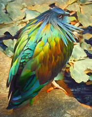 Nicobar Pigeon (scilit) Tags: bird pigeon nicobarpigeon dodo beak feathers metalliccolors nature coth alittlebeauty specanimal alb coth5 animal wildlife colorful stream leaves lilypad vines