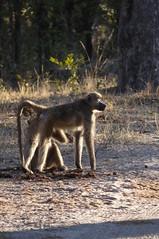Chacma Baboon Grooming (saraalaica) Tags: botswana africa safari moremi gamepreserve chacmababoon baboon grooming mammal primate