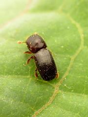 Black Stem Borer (treegrow) Tags: rockcreekpark washingtondc nature lifeonearth raynoxdcr250 arthropoda insect beetle coleoptera xylosandrusgermanus curculionidae