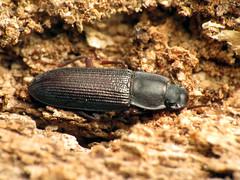 Darkling Beetle (treegrow) Tags: rockcreekpark washingtondc nature lifeonearth raynoxdcr250 arthropoda insect beetle coleoptera idiobatescastaneus tenebrionidae