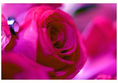 Rose (Rajavelu1) Tags: rose pink plant ef100mmf28macroisusm macrophotography closeup colours highiso availablelight dslr art creative artdigital