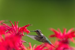 Ruby Red-throat Hummingbird (daryl nicolet) Tags: hummingbirds hummingbird bird canon 5dm3 daryl nicolet