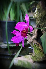 Orchid (robtm2010) Tags: nigarafalls canada niagaraparks floralshowhouse flowers plants orchid ontario flowerscolors canon canon7d 7d