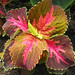 Coleus by My Lovely Wife