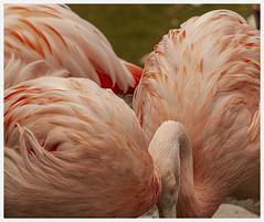 Reid Park Zoo #50 2019; Flamingo Clump (hamsiksa) Tags: birds aves flamingos chileanflamingos southamericanbirds southamerica zoos arizona tucson wadingbirds phoenicopteridae phoenicopteruschilensis pink waterbirds interaction