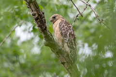 Red-shouldered Hawk (Buse à épaulettes) (miro_mtl) Tags: attente buteolineatus d7200 michelrochon nikon nikond7200 outdoors steustache tamron tamronsp150600mm aigle ailes america amerique arbres bird birdofprey branches buse buseàépaulettes canada chasse chasseur hawk hunter hunting marais marsh nature oiseau oiseaudeproie patience perch printemps quebec spring trees waiting wetlands wildlife wings