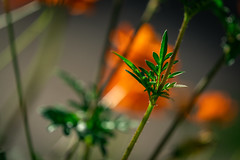 Green in the Shadows (John Brighenti) Tags: rockville maryland outdoors outisde suburbs twinbrook neighborhood walking summer evening nature flowers plants leaves stem orange green brown bokeh depthoffield outoffocus blur sony alpha a7rii ilce7rm2 sel100400gm nex emount femount gmgmaster bealpha sonyshooter zoom