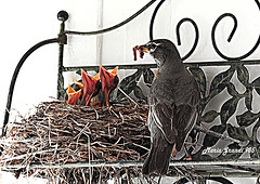 Again, this year, a Nest of Robins in my Patio- N2-little birds (mariagrandi985) Tags: birds americanrobin nest metalobjects metalshelf americanrobinchicks patio gardenpatio nature naturewatcher natureinthecity urbannature ilovenature composition perfectcomposition learningcomposition beautifulcomposition uploadedonjuly32019 mariagrandi985 babybirds