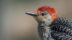 Red-bellied Woodpecker-3280 (Paul McGoveran) Tags: hendrievalley nature nikon500mmf4 nikond850 redbelliedwoodpecker coth5 ngc