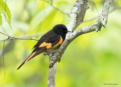 American Redstart (sbuckinghamnj) Tags: newjersey bird warbler redstart americanredstart