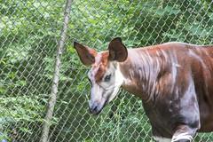 June 2019 okapi (timp37) Tags: illinois 2019 june zoo brookfield okapi