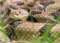 Timber Rattlesnake (sbuckinghamnj) Tags: snake reptile timberrattlesnake rattelsnake doodletown newyork