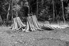 Whitened Stumps (waledro) Tags: wallbeach stumps log trees