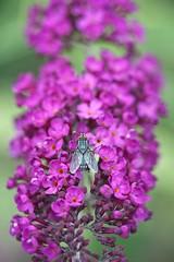 Fly away (JSB PHOTOGRAPHS) Tags: nd38747 fly nikon d3 flowers bokehlicious bokeh mamiya seckor macro c 80mm f4 n butterflybush buddleja