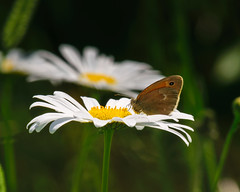 Daisy & Butterfly - 2590 (RG Rutkay) Tags: presquileprovincialpark butterfly daisy flower insect nature plant