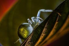 Araña de Cristal (antoniofotoxar67) Tags: macro araña insecto contraluz naturaleza antena nocturna