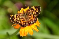 Pearl Crescent (deanrr) Tags: butterflyonflower flower butterfly bokeh nature outdoor alabamanature morgancountyalabama pearlcrescent symmetry nikon patternsinnature