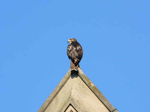 Fledgling on a Gable - 3919