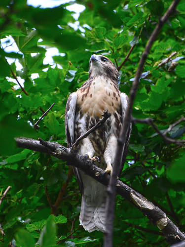 Cathedral Red-Tail Fledgling - 3973