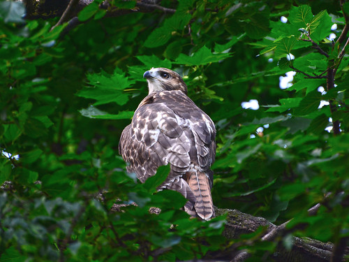 Cathedral Red-Tail Fledgling - 3963