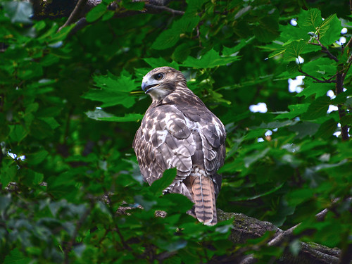 Cathedral Red-Tail Fledgling - 3959