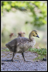IMG_0011 Canada Goose Gosling (Scotchjohnnie) Tags: canadagoose brantacanadensis canadagoosegosling gosling nature naturephotography canon canoneos canon7dmkii canonef100400f4556lisiiusm scotchjohnnie waterbird waterfowl