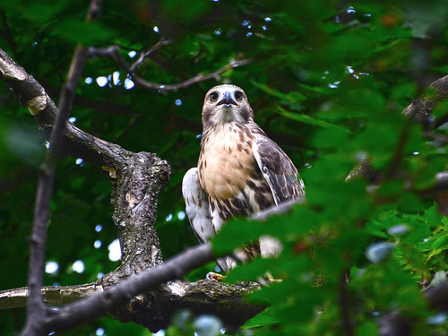 Cathedral Red-Tail Fledgling - 3966