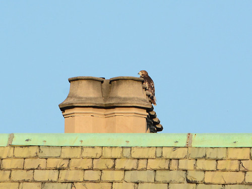 Fledgling on a Chimney - 3986