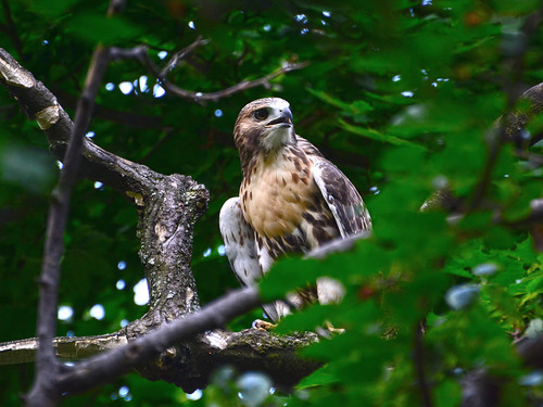 Cathedral Red-Tail Fledgling - 3964