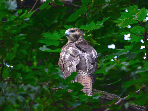 Cathedral Red-Tail Fledgling - 3955