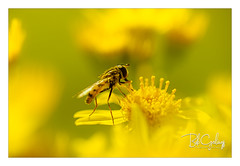 Happy not being purple (Bob Geilings) Tags: floral flower yellow green bokeh mood flora closeup macro nature summer flowers fly hoverfly