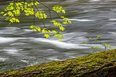 Maple Flow (Kirk Lougheed) Tags: california mercedriver usa unitedstates yosemite yosemitenationalpark yosemitevalley landscape longexposure maple nationalpark outdoor park river spring tree water