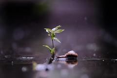 雨宿 -ame ni yadoru- (atacamaki) Tags: xt2 50140 xf f28 rlmoiswr fujifilm jpeg撮って出し atacamaki japan ibaraki kasumigaura 出島の家 庭 nature snail rain leave 梅雨 カタツムリ 雨 day life ウッドデッキ 雨宿り