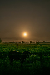 silhouette, brume et soleil (patrick Thiaudiere, + 3,5 millions view) Tags: myst mist misty brume brouillard matin morning vache cow soleil sun sky ciel or gold silhouette green vert herbe prairie