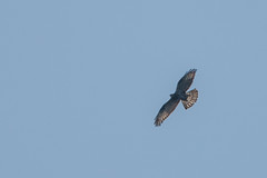 Honey Buzzard North Yorkshire (Tim Melling) Tags: pernis apivorus honey buzzard honeybuzzard european north yorkshire moors timmelling wykeham forest