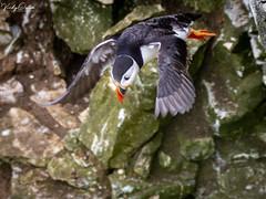 🇬🇧 Puffin flying off the cliff. (vickyouten) Tags: vickyouten puffin wildlife nature nikon nikond7200 nikonphotography sigma sigma150600mmc bemptoncliffs bridlington uk