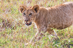 Heading Towards Mummy (Xenedis) Tags: africa afrika animal bigcat bigfive cat cub eastafrica gamedrive grass kenya lion maasaimara maranorthconservancy narokcounty offbeatpride pantheraleo republicofkenya riftvalley safari savannah simba wildlife