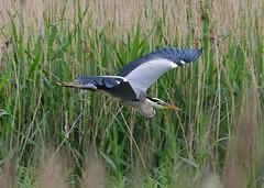 Grey Heron (gillybooze (David)) Tags: ©allrightsreserved bird greyheron birdwatcher heron inflight reeds water wings wildlife bokeh outside wild outdoor dof