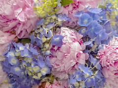 Playing with Flowers (Synapped by Renae Smith) Tags: flower peony peonies hydrangea pink blue