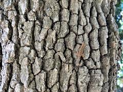 Spot the lizard (PenangCA) Tags: ranchosanantonio openspacepreserve midpen california hiking trail summer outdoor nature midpensularegionalopenspacedistrict permanentecreektrail lowermeadowtrail highmeadowtrail wildcatlooptrail inventyouradventure snapshotsunday trees texture lizard