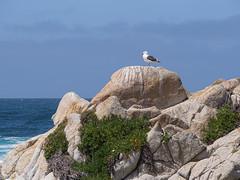 Rock with seagull (Teelicht) Tags: california kalifornien küste montereycounty möwe nordamerika northamerica ozean pacificgrove pacificocean pazifik regenpfeiferartige usa unitedstatesofamerica vereinigtestaaten vogel watvogel bird coast ocean seagull