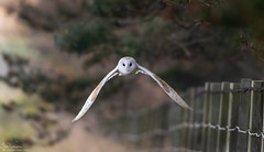 Eye Contact (Steve (Hooky) Waddingham) Tags: animal countryside coast bird british barn nature northumberland flight wild wildlife morning prey owl