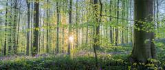 Hallerbos 2019 (cedant1) Tags: boisdehal hal hallerbos belgium belgique brussels brabant wood forest purple blue bluebell flemish walloon starburst tree trees
