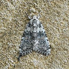 Marbled Beauty ... Bryophla domestica (AndyorDij) Tags: marbledbeauty bryophiladomestica nationalmothweek lepidoptera insect moth andrewdejardin england empingham empinghammoths rutland uk unitedkingdom