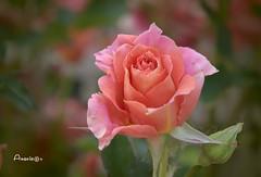 June rose (Anavicor) Tags: quintaflower juevesdeflores thursdayflowers giovedi jeudi fleur rosa rose bokeh pink nikon d5300 tamrom16300mm blossom nature plant anavicor anavillar villarcorreroana